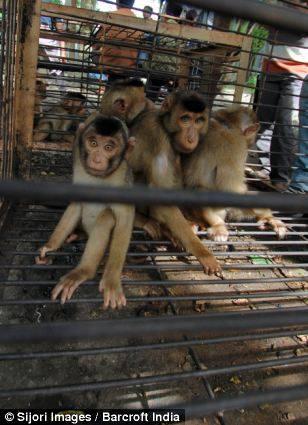 scimmie cocco