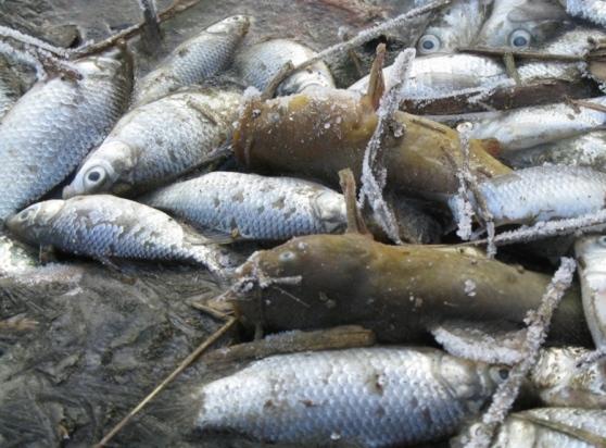 mantova moria pesci