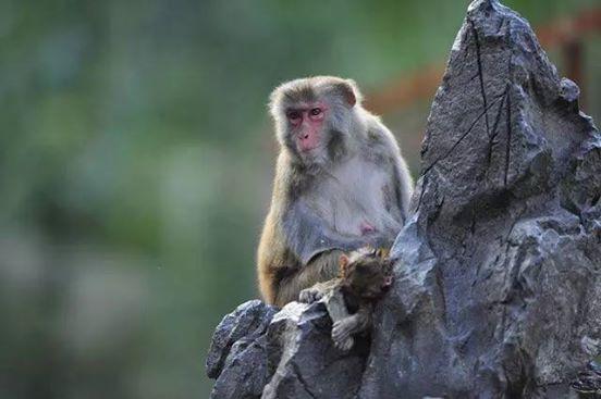 scimmia cina