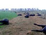 mucche morte x erbicida